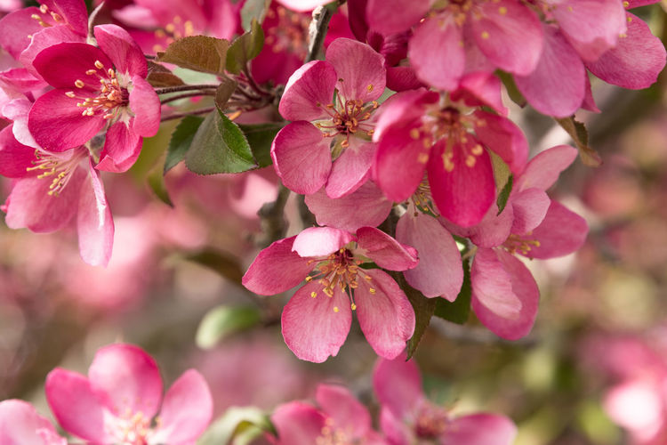 Pink Crab Apple Tree Blossoms Pink Color Crab Apple Tree Blossoms  Blooms Flowers Spring Nature Flowering Plant Flower Beauty In Nature Petal Close-up Vulnerability  Flower Head No People Springtime Pollen Outside Outdoors MidWest Minnesota New Beginning