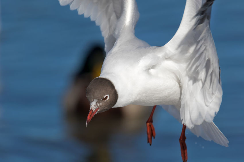 black-headed gull in mid-air Black-headed Gull Winter Animal Themes Animal Wildlife Animals In The Wild Beak Beauty In Nature Bird Blackheaded Gull Close-up Day Flying Focus On Foreground Gull Lake Nature No People One Animal Outdoors Seagull Spread Wings Water White Color