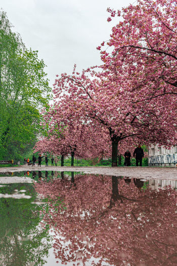 Cherry blossoms in park against sky