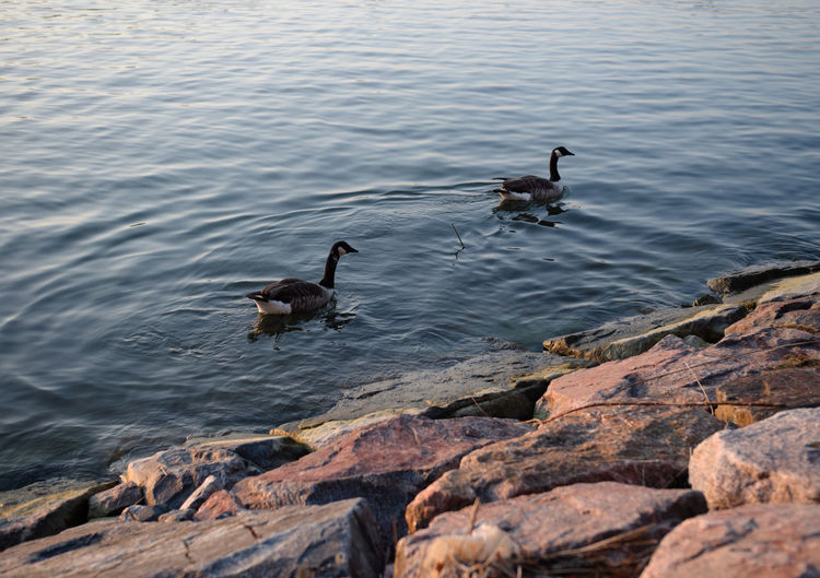 Floating around Water Nature Animal Swimming Geese Bird Floating Outdoors Rock Couple Bank Waves Pair Goose Breakwater Waterfront No People Two Birds High Angle View Group Of Animals Floating On Water Animal Wildlife Animal Family Floating In Water Gh5