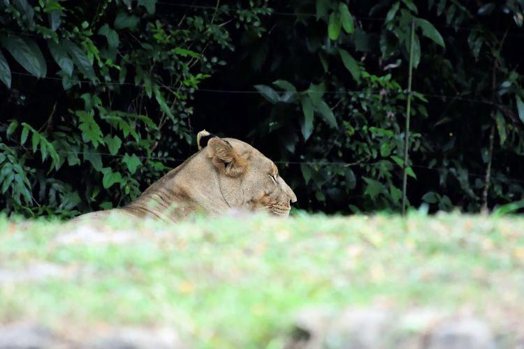 Wildlife and forestry Animal Animal Head  Animal Themes Animal Wildlife Animals In The Wild Cat Day Domestic Animals Feline Land Lion - Feline Lioness Mammal Nature No People One Animal Plant Relaxation Tree Vertebrate