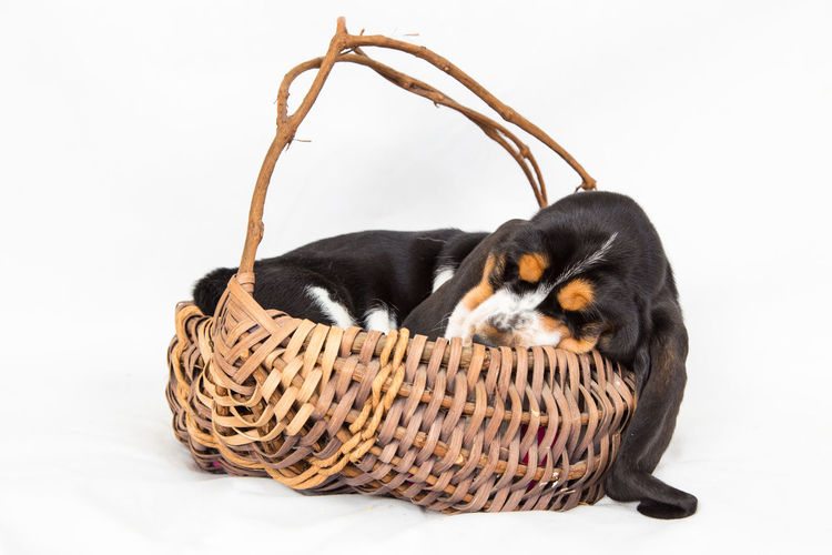 Adorable Animal Animal Themes Basket Basset Hound Blackandwhite Close-up Cute Dog Domestic Animals Mammal No People One Animal Pets Puppy Sleeping Studio Shot White Background