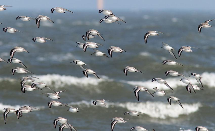 Sanderlings in