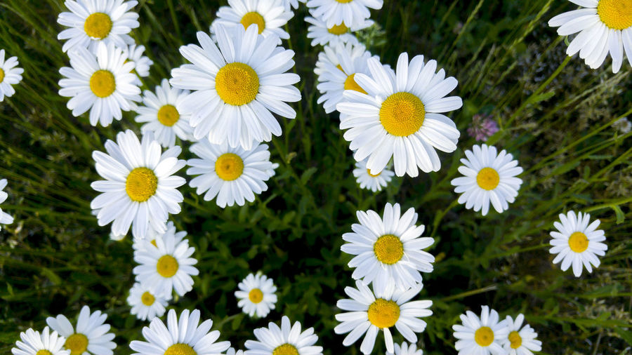 flowers Beauty In Nature Close-up Daisy Day Field Flower Flower Head Flowerbed Flowering Plant Fragility Freshness Growth Inflorescence Nature No People Outdoors Petal Plant Pollen Springtime Vulnerability  White Color Yellow