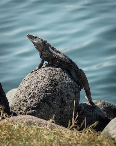 Side view of lizard on rock by sea