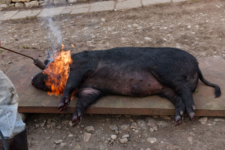 Cropped image of butcher burning pig on metal