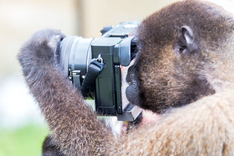 Woolly Monkey using a camera in the Amazon near Iquitos, Peru Amazon Amazonas Amazonia Black Brazil Brown Camera Camera - Photographic Equipment Ecuador Green Iquitos  Jungle Monkey Monkeys One Animal Peru Photography Primate Rain Forest Rainforest Wildlife Woolly Woolly Monkey