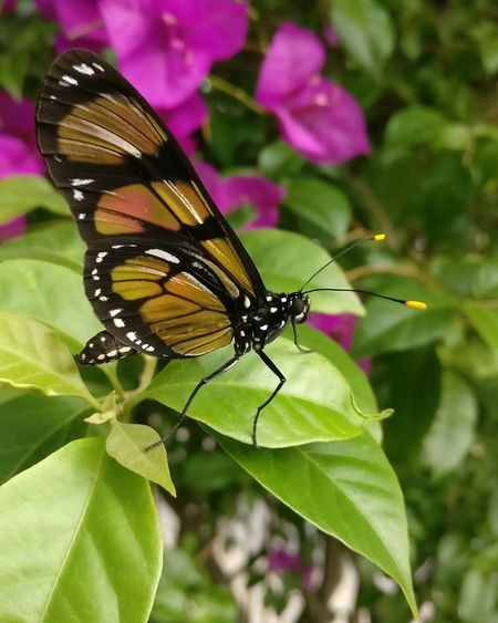 Shotononeplus Flower Perching Leaf Butterfly - Insect Insect Close-up Animal Themes Plant Butterfly Pollination Flower Head Blooming Petal
