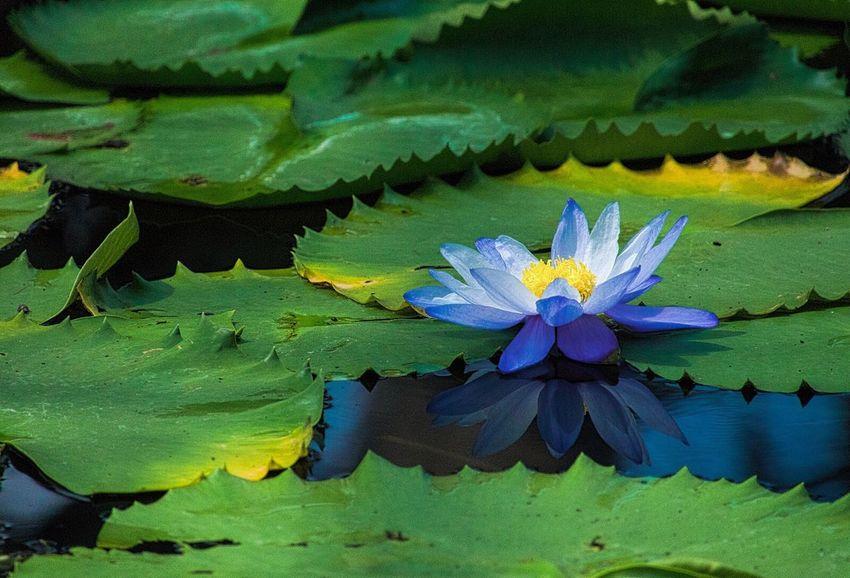 Water Lily Flowerlovers Flower Collection EyeEm Nature Lover Nature Photography Leafs Photography Japan Photography Nature Is Art Enjoying Life Beautiful View スイレン 睡蓮 蓮 どこかにゲコゲコ、カエルちゃんとか乗ってたらまた違う感じになってたんでしょうね~。(カエル、苦手だけど(^◇^;))