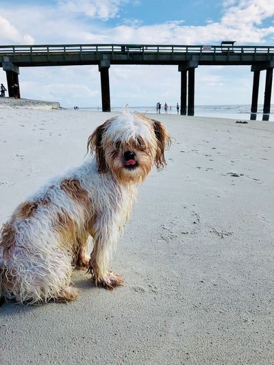 Puppy cools down at the beach Sand Ocean Puppy Dog Beach Pier Animal Themes Animal Mammal Sky Nature Land Dog Canine Pets Sea Beach Water