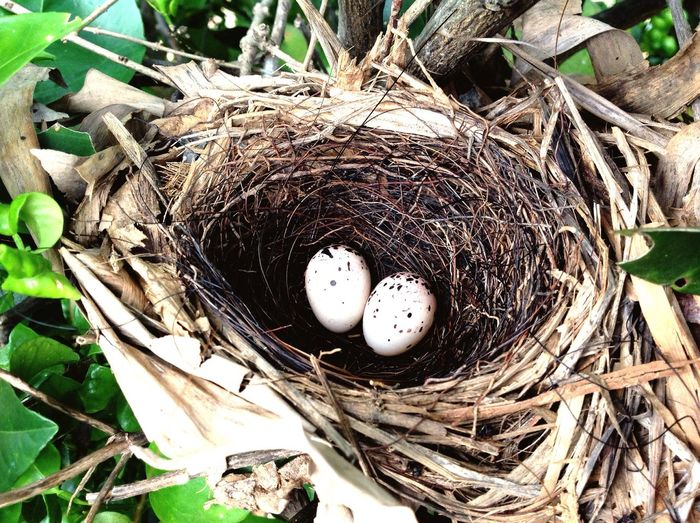 Ninho Ovos Eggs... Nature First Eyeem Photo