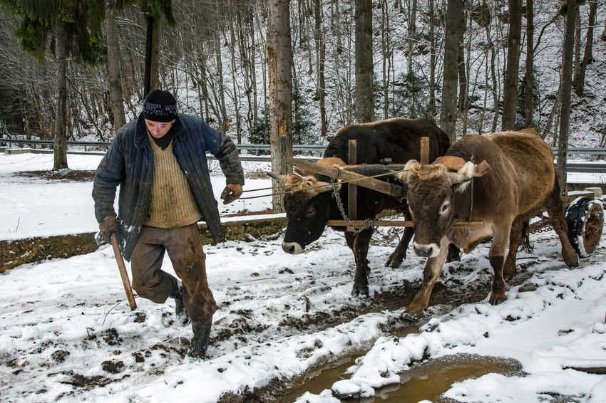 Animal Themes Beauty In Nature Cold Temperature Day Domestic Animals Field Forest Full Length Mammal Nature One Person Outdoors Oxen People Real People Snow Standing Tree Warm Clothing Winter
