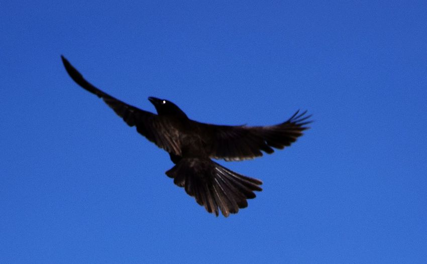 Black Bird In The Light Clear Sky Low Angle View No People Spooky Bird Spread Wings