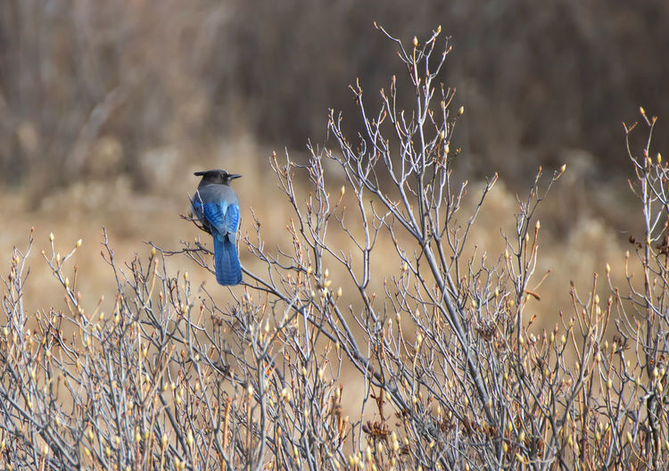 Blue Jay Feathers Profile Stellers Jay Yosemite National Park Animal Backgrounds Bird Blue Branch Meadow Single Twig Wildlife