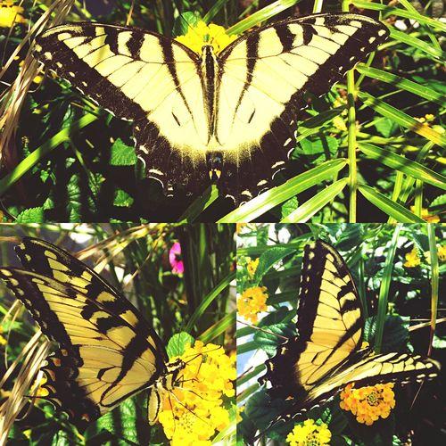 Eastern Tigerswallowtail Butterfly Nature Flowers Summer Summer2015 Papilioglaucus