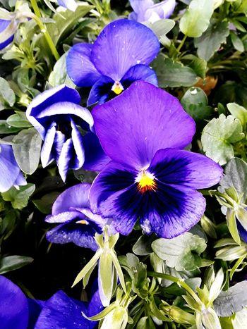 Love the colors Flower Head Passion Flower Flower Iris - Plant Petal Purple Close-up Plant Blooming