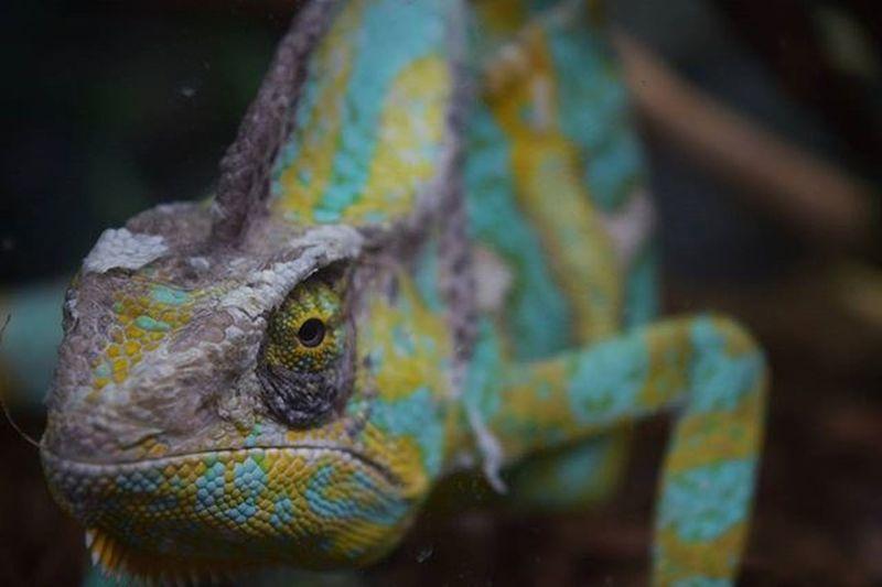 Chameleon Animal Wild Wildlife Colourful Colorful Nature Natural Natgeo Green Yellow Nikon Nikond3300 D3300 Likeforlike Like4like Likeback Pouyahi