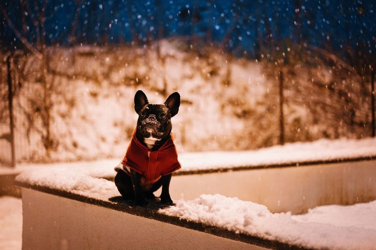 Small french bulldog dog on snow during winter