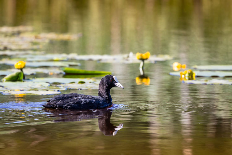Beauty In Nature Black Color Close-up Day Eurasian Coot Floating On Water Focus On Foreground Fulica atra Lake Nature No People Outdoors Plant Rippled Selective Focus Tranquility Water
