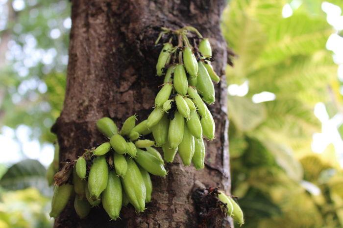 Averrhoa Bilimbi Bilimbi Botany Cucumber Tree Eat More Fruit Freshness Fruitporn Green Color Nature Plant Sorrel