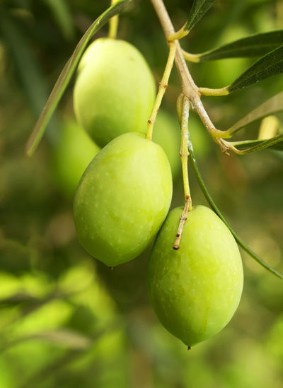 Close-Up Of Olives Hanging On Tree
