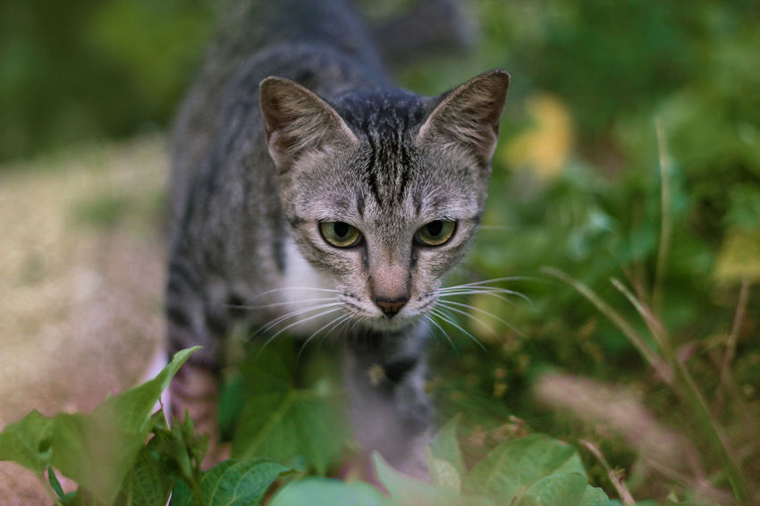 pet portrait Animal Themes Close-up Day Domestic Animals Domestic Cat Feline Focus On Foreground Green Color Looking At Camera Mammal Nature No People One Animal Outdoors Pets Portrait Whisker