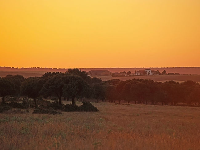 Beauty In Nature Beauty In Nature Day Environment Fields Grassland Landscape Landscape_Collection Large Group Of Animals Meadow Nature Nature No People Orange Orange Sky Outdoors Pasture Quercus Quercus Ilex Scenics Sky Summer Sunset Tree