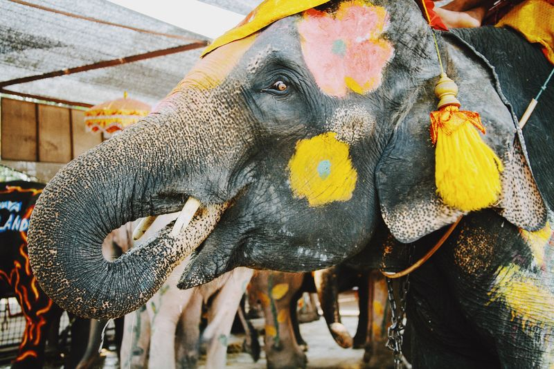 Asian elephant painted in celebration of a thai holiday Painted Tame Culture Southeast Asia Asian  Asian Culture Animal Animal Themes Mammal No People Vertebrate Day Multi Colored Animal Wildlife One Animal Elephant Animal Representation Close-up Outdoors