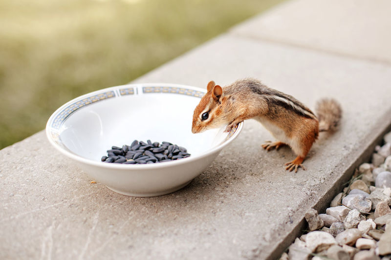 Cute small striped brown chipmunk eating sunflower seeds from plate. wild animal in nature outdoor.
