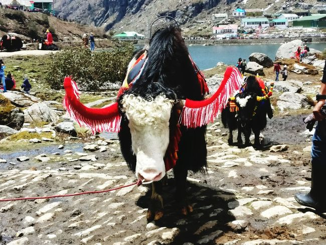 Yak Ride Day Red Horns Mammal Outdoors Himalayan Road Real People Lifestyles Water Nature Shadow Crowd
