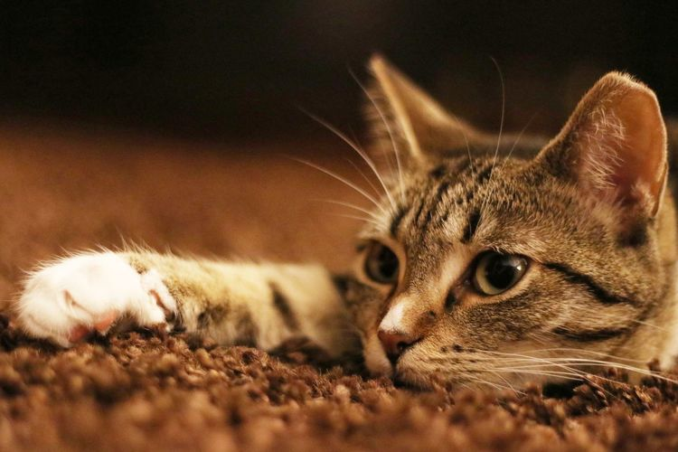Close-Up Of Tabby On Field