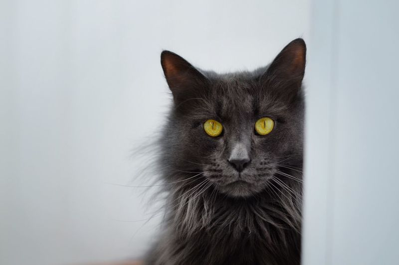 Pets Domestic Domestic Animals Cat Domestic Cat Animal Mammal Looking At Camera Black Color Indoors  Animal Body Part Wall - Building Feature Close-up Vertebrate No People Portrait Animal Themes One Animal Feline Whisker My Best Photo