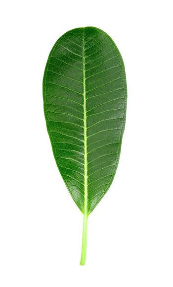 Leaves Plumeria