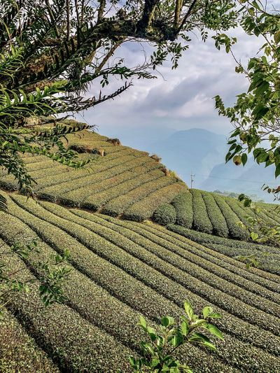 Taiwan Tea Plantation  Landscape Green Scenery ShotOnIphone Ali Mountain Plant Sky Nature Day Water Tree No People Scenics - Nature Beauty In Nature Outdoors Non-urban Scene Reflection Cloud - Sky High Angle View Tranquility Growth Tranquil Scene Sunlight Clean