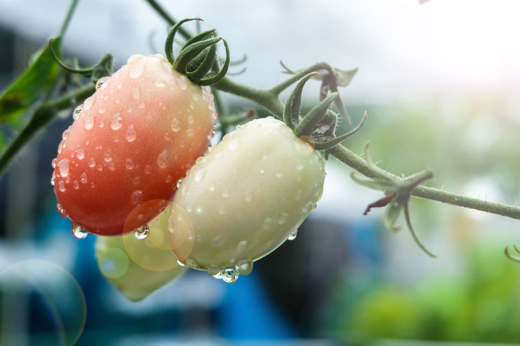 Tomatoes product from hydroponic planting Agriculture Aquaponic Close-up Drop Food Fragility Freshness Fruit Green Color Growth Hydroponic Vegetables Hydroponics Nature Organic Plant RainDrop Tomato Water Wet