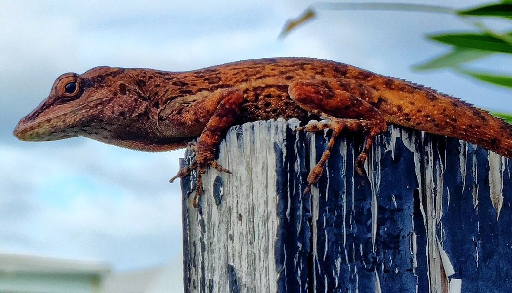 Check This Out IPhoneography Lizard St Maarten
