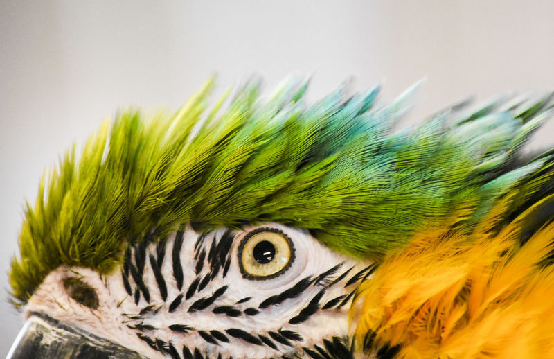 Animal Themes Bird Blue And Gold Macaw Close-up Feather  Macaw No People One Animal Portrait