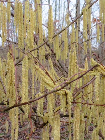 Catkin Close-up Sky Plant Growing Branch