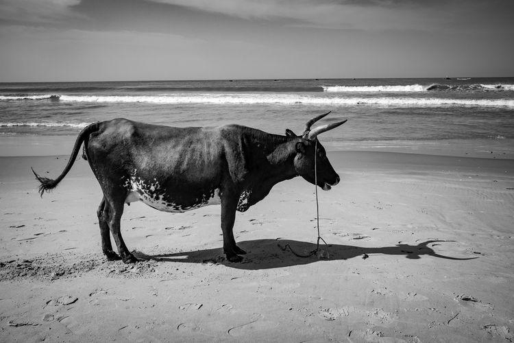 A cow stands proud on the shores of Cap Skirring - Senegal - Dec 2017. The Photojournalist - 2018 EyeEm Awards Animal Animal Themes Animal Wildlife Beach Domestic Domestic Animals Horizon Horizon Over Water Land Livestock Mammal Nature One Animal Pets Sand Sea Sky Vertebrate Water