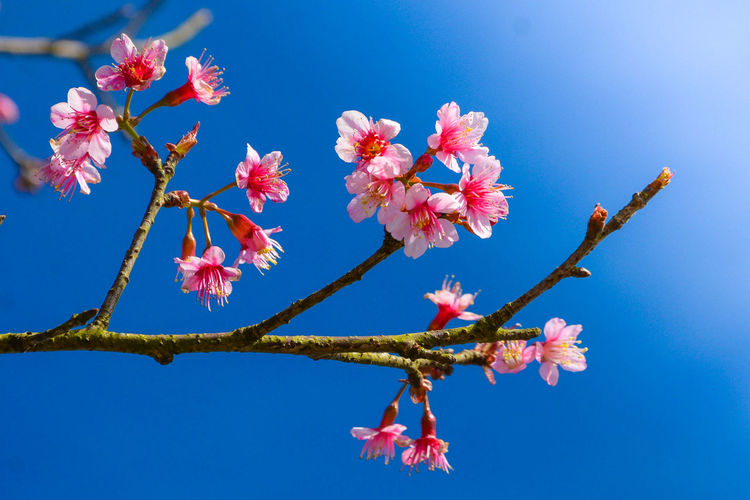 sakura ซากุระภูทับเบิก ดอกพญาเสือโคร่ง ซากุระเมืองไทย ซากุระ Sakura Tree Blue Sky Sakura Flower Blue Branch Sky Cherry Blossom Blossom Cherry Tree In Bloom Blooming