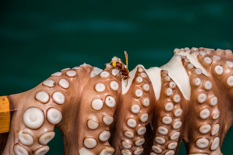 Close-up of insect on octopus
