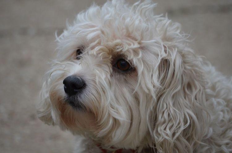 white curley dog Jodie Sims Photographerinoz Photography Photographer Overland Park Kansas Puppy Cutie Pet Curley White