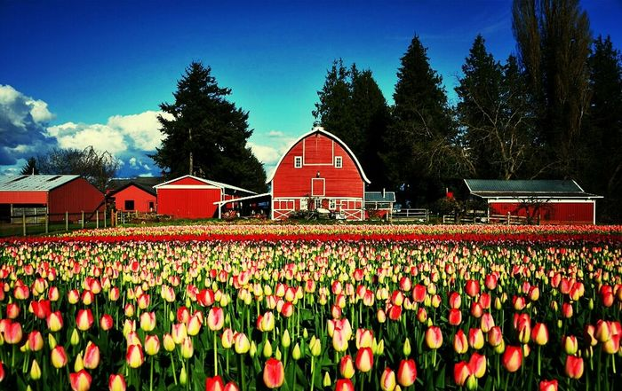 Spring Washington State Absolutely Incredible Skagit Valley Tulip Festival
