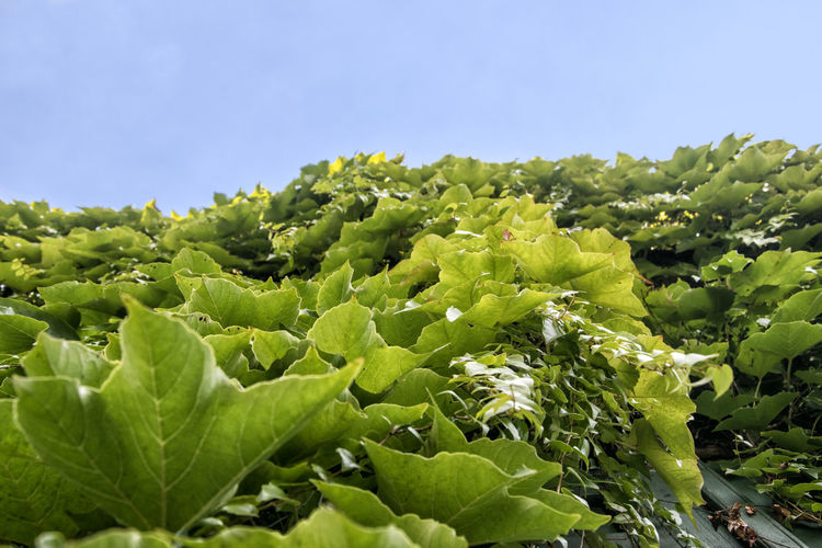 Ivy Leaves Day