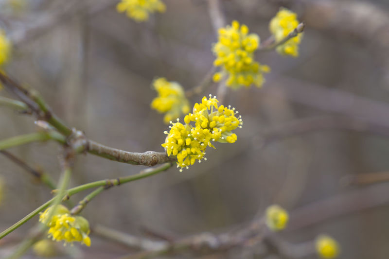the flowers of a witch hazel shrub Beauty In Nature Blooming Branch Close-up Day Flower Flower Head Fragility Freshness Growth Mustard Plant Nature No People Outdoors Plant Springtime Tree Yellow
