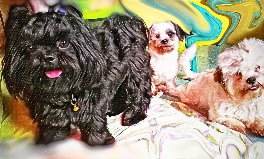 Coffee, fifi and roxy. Dog Pets Portrait Multi Colored Domestic Animals Indoors  Mammal Animal Themes BlackDog Dogs Shih Tzu Pet Whitedog Doglover Pet Portraits Black Shih Tzu Love Shihtzuphotography Puppy Furbaby Shihtzu Blackandwhite
