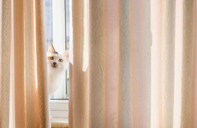 Douzi's Expression Animal Themes Cat Curtain Day Domestic Animals Domestic Cat Douzi Expression Find Hide Home One Animal Pets Portrait Warm Window