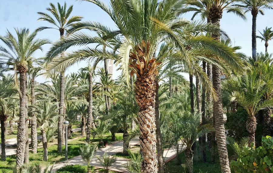 Elche Palm Grove World Heritage Palm Trees Palm Garden Palm Tree Palms Garden Garden Photography No People Gardens Garden Love Oasis Palm Trees ❤❤ Hanging Out Check This Out Hello World Relaxing Enjoying Life The EyeEm Collection Beautiful 16_06 Summertime The Street Photographer - 2016 EyeEm Awards Eyeem Garden