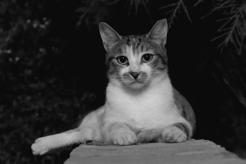 Night Outdoors Pets Domestic Animals Domestic One Animal Cat Mammal Feline Domestic Cat Looking At Camera Portrait No People Relaxation Close-up Front View
