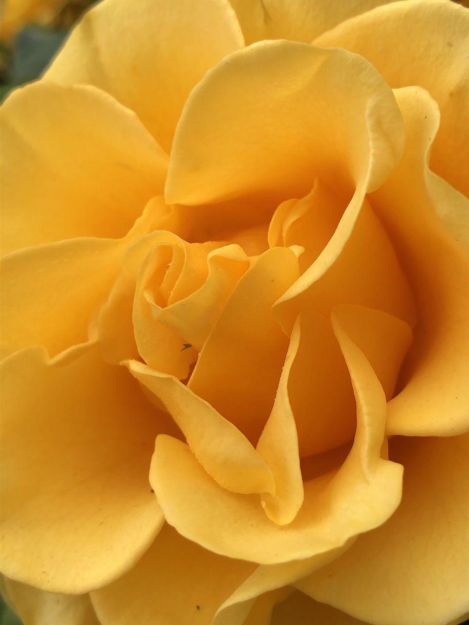 FULL FRAME SHOT OF ROSE FLOWER